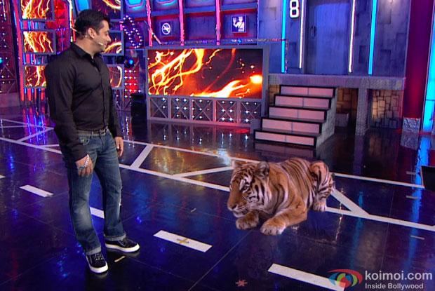 Tiger From Roar Visits Salman Khan On The Set Of Bigg Boss 8