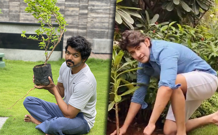 Actor Vijay Takes Up Mahesh Babu's Green India Challenge & Plants A Sapling(Pic credit: Twitter/Vijay, Mahesh Babu)