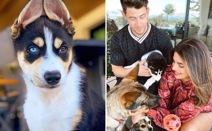 Priyanka Chopra & Nick Jonas Welcome A New Family Member; Meet Panda!