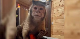 Monkey George Of TikTok Fame Passes Away After A Routine Dental Check-Up Went Horribly Wrong
