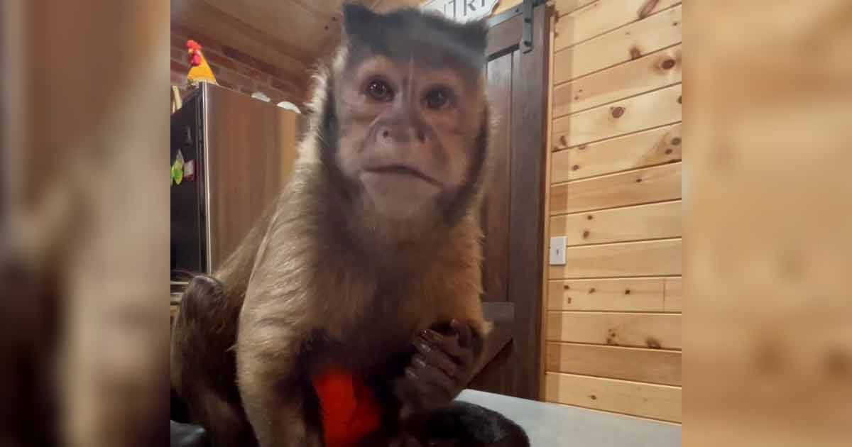 George – The Black Capuchin Monkey TikTok Star Is No More, fans are devastated